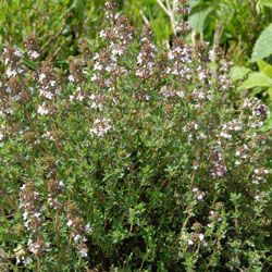 Thyme: Have