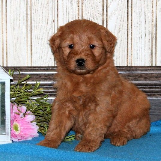 Puppies For Sale Mini Goldendoodle Puppies Puppies Goldendoodle Puppy