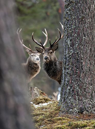 Red Deer Stags 2 looking through trees | Flickr - Photo Sharing
