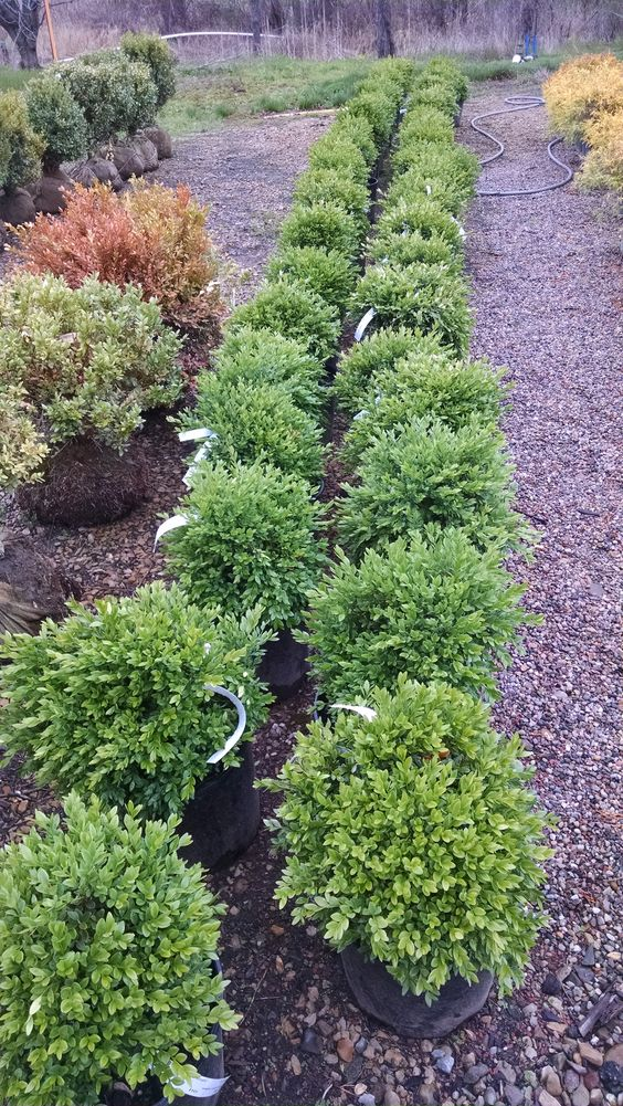 Green shrubs and the o 39 jays on pinterest for Green bushes for landscaping