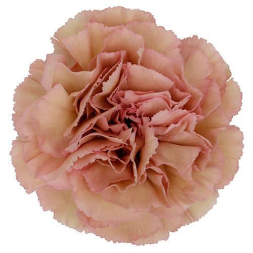 Carnation Creola Antique Pink Fancy Mayesh Antique Pink Roses Carnation Colors Carnations