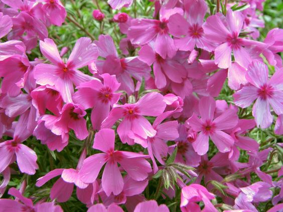 Flowers!  Pink!  ... photographed yesterday