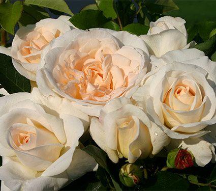 Rose Kosmos™
