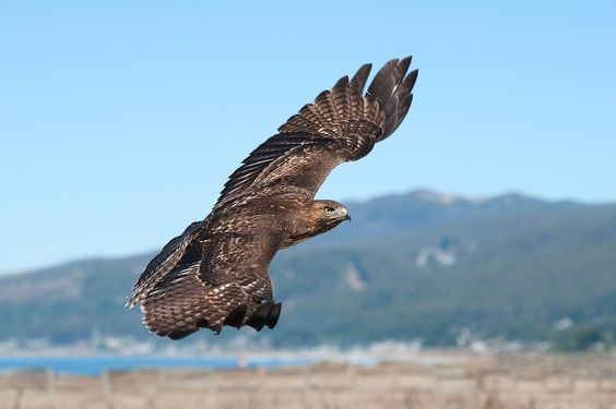 Redtail hawk in flight, Half Moon Bay, CA