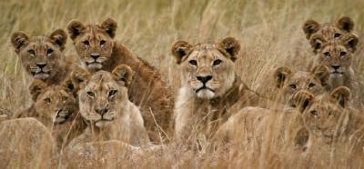 Group Of Lions Called 86
