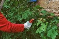 Arbres et arbustes - Tailler la vigne vierge