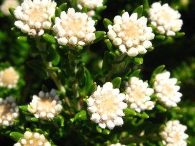 Phylica cf. axillaris var. maritima