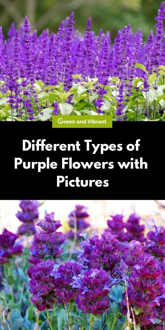 Different Types Of Purple Flowers With Pictures In 2020 Types Of Purple Flowers Light Purple Flowers Purple Flowers