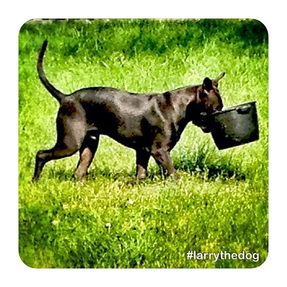 "@aswelayawake's photo: ""Larry at 6 months carrying an iron pan that I left outside for his water. I figured this one was heavy enough that he couldn't tip over. Well, he proved me wrong.  #larrythedog #puppy #love #dog #pitbull"""