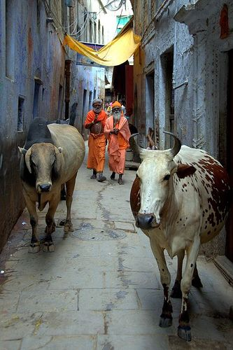 #india #vacas