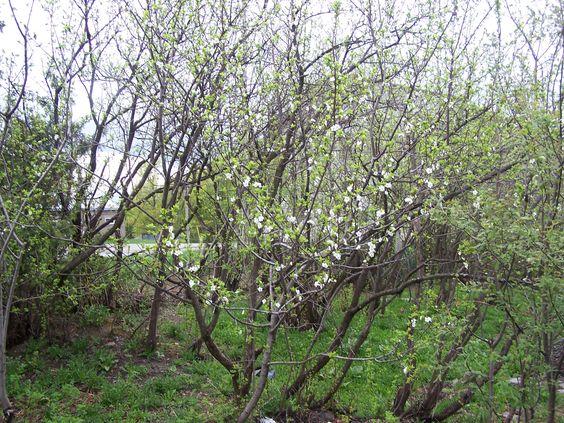 2013 Entrée du jardin pruniers en fleurs