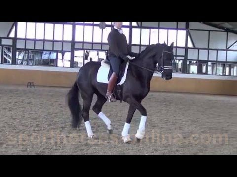 www.sporthorses-online.com 2006 black dressage gelding 16.3 hh price ran...