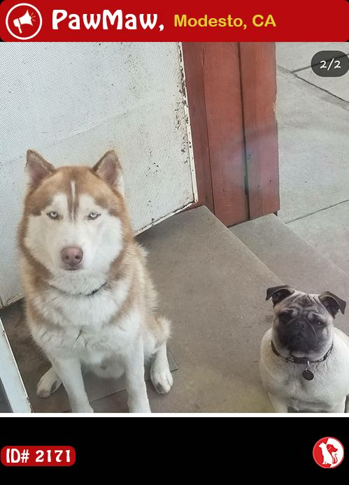 Help Jedi Is Lost With Images Losing A Pet Pets Siberian Husky