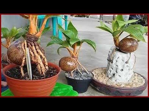 Tis Tips Percepat Tunas Kelapa Dan Bonsai Kelapa Buah Batang Daun Tanam Rawat Pot Youtube Kelapa Pot Bunga Tanaman