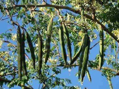 How To Grow Moringa Plant From Cuttings And Seeds Drumstick Tree Caring Tips Youtube Moringa Seeds Moringa Plants