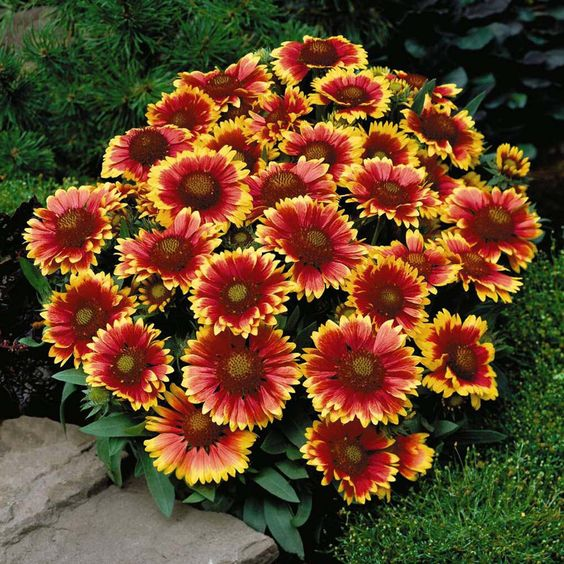 Blanket Flower, Gaillardia. Hardy, sun-loving and easy to keep perennial. No pruning or fussing, or no serious pests or diseases.