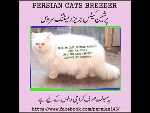 Stud Male Cat For Stud Cross Mating Service Persian Cat Breeders Cats Persian Cat