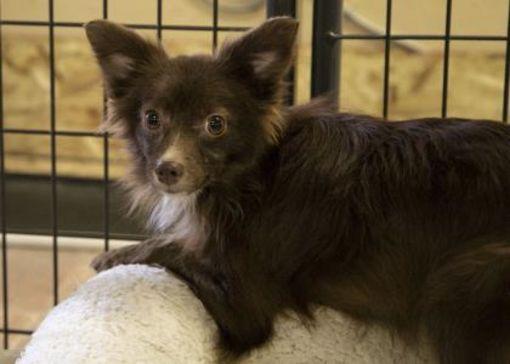 Colorado Springs Co Young Pomeranian Meet Miller A Pet For Adoption Pomeranianyorkie With Images Safe Dog Toys Pet Adoption Dog Toys