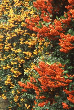 Best climbing plants for shade these are firethorns garden ideas best climbing plants for shade these are firethorns mightylinksfo