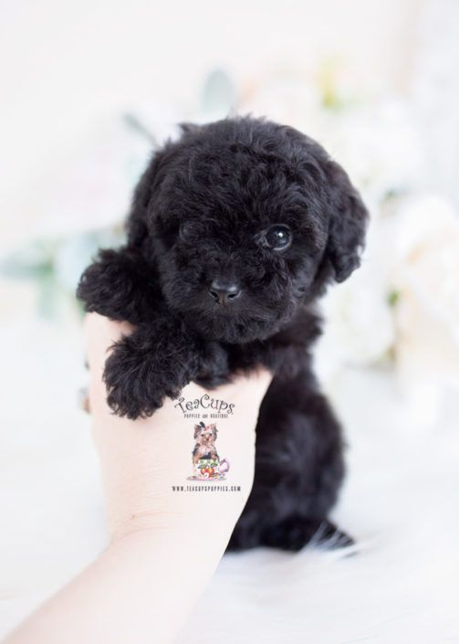 Black Toy Poodle Puppy For Sale 057