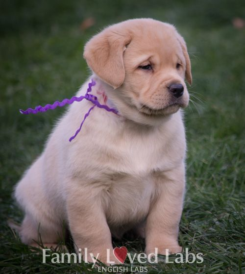 Sweet Sweet Girl Akc Registered English Labrador Puppy Family Loved Labs Labradorretriever English Lab Puppies English Labrador Puppies Labrador