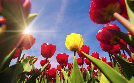 Read All About The History Of The Dutch Tulip The Flower Originally Came From Turkey But Has Become Holland S Symbol How D Bulb Flowers Tulips Planting Bulbs