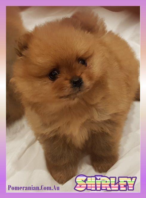 Dochlaggie Pomeranian Puppy Pomeranian Puppy Puppies Dog Friends
