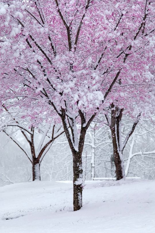 Blossom and snow, just magical Love you goodnight;)