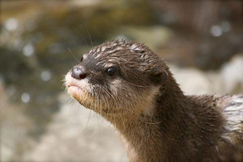New Otter Pups at the Santa Barbara Zoo Make a Family of Eleven! - September 30, 2011