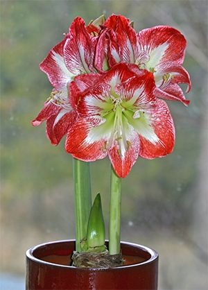 amaryliss | My Amaryllis 'Minerva' now has 3 fully open blooms and the 4th is ...