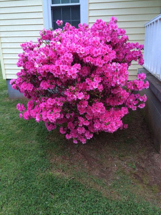 beautiful bush at my grandparent's house