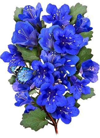 California Bluebell Seeds (Phacelia campanularia)