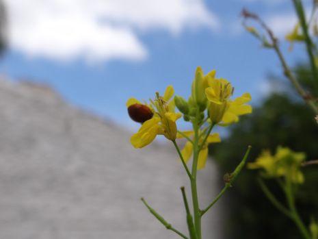 Joaninha na flor da mostarda ®SKLindemann