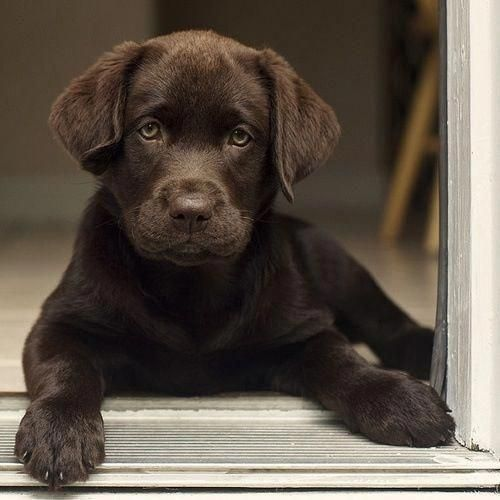 The Many Things We All Like About The Black Labrador Pup