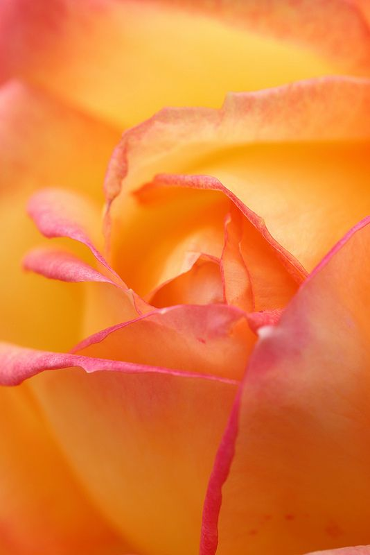 This rose is so lovely. It reminds me or an orange creamsicle. I'd love to incorporate this flower into a wedding.