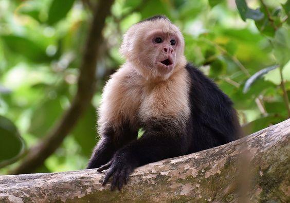 Los monos capuchinos machos, se orinan sobre si, par atraer a las hembras.
