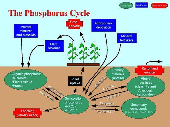 phosphorus cycle SAT Subject Test Biology EM – Phosphorus Cycle Worksheet