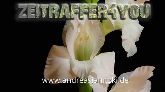 Gladiole Gladiolus × hortulanus Blooming Timelapse Zeitraffer