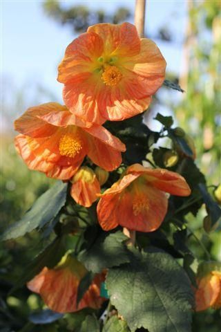 Abutilon 'Victor Reiter' one of many different colors, great for shade, or in containers. Growing anywhere between 5-12 feet high, partial shade, regular water