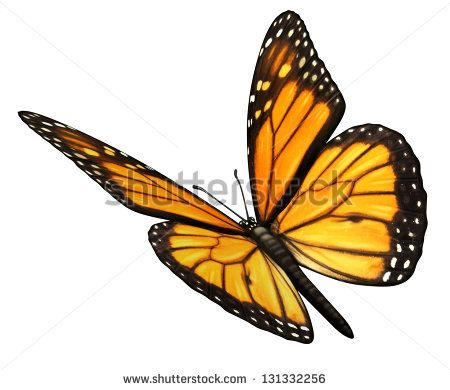 Monarch Butterfly isolated on a white background angled in a three quarter view with open wings as a natural symbol of flying migratory insect butterflies for summer and the beauty of nature.