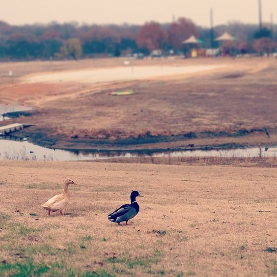 Ducks on a lawn!  #grapevine #travel #rvpark