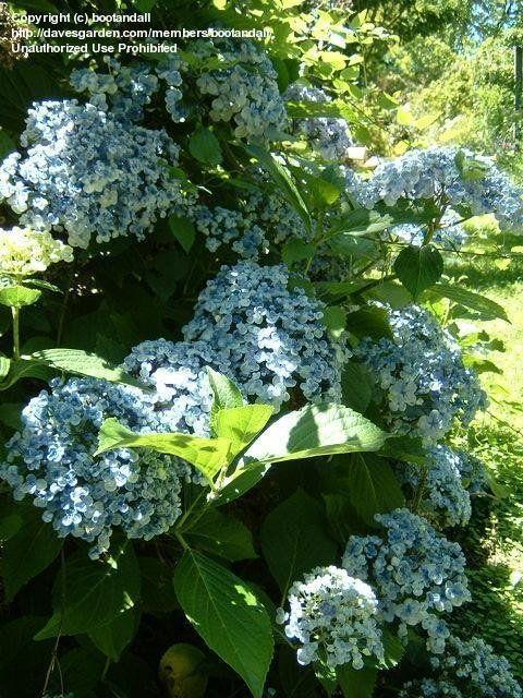 Hydrangea Ayesha Devon Garden Blenheim Nz Bigleaf Hydrangea French Hydrangea Garden Inspiration