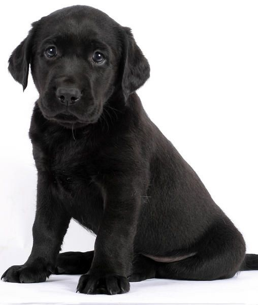 Labs Best Dogs Ever Hands Down Black Lab Puppies Puppies