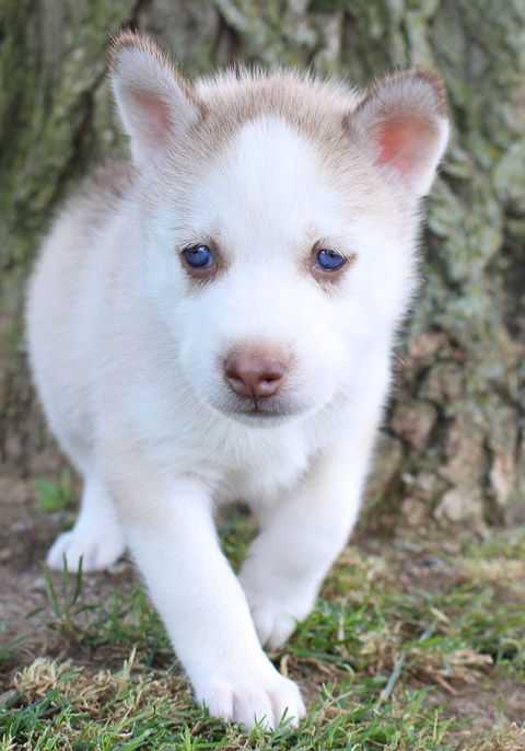 Jacy Male Akc Siberian Husky Puppy In Grabill Indiana Puppies