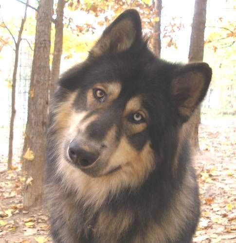 american indian dog | Certified AKC Breeders - Native American Indian Dogs