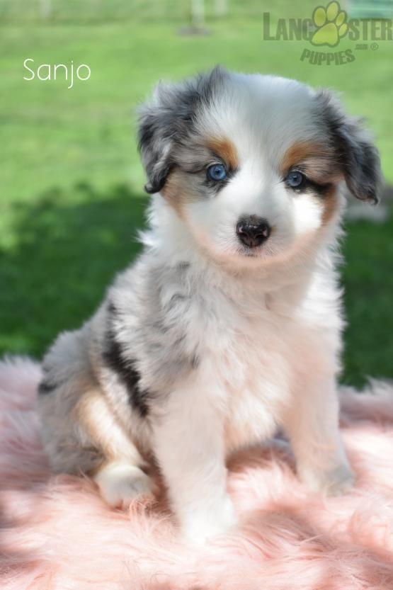 Adorable In 2020 Mini Australian Shepherds Puppies Shepherd Puppies