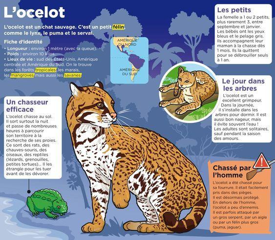 Epingle Par Maria Bosco Sur Animaux Petit Felin Ocelot Animaux