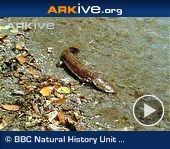"""ARKive video - Chinese giant salamander - overview.  Largest salamander on the planet.  Is listed as """"critically threatened"""" on the IUCN scale.  They can live for as long as 80 years in the wold."""