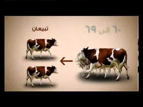 بهيمة الانعام Animals Cow