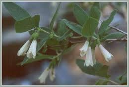 styrax officinalis var. redivivus - Google Search